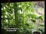 Во саду ли. Подготовка рассады к высадке в грунт.